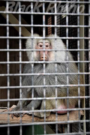 マントヒヒ01 大内山動物園