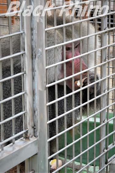 マントヒヒ03 大内山動物園