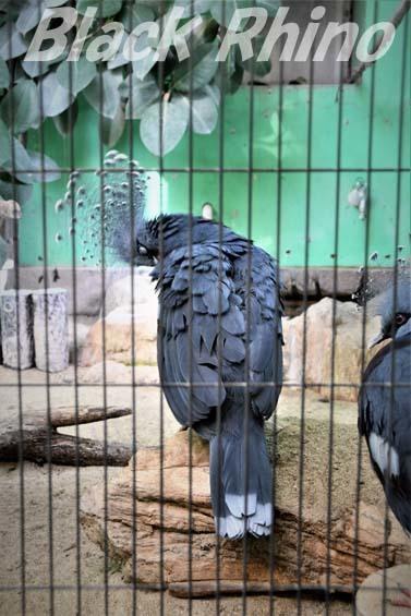 オウギバト01 福岡市動物園