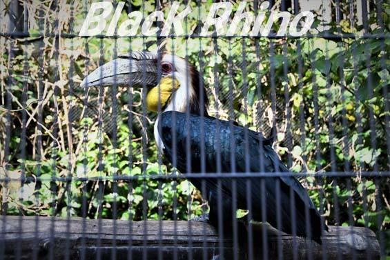 シワコブサイチョウ02 福岡市動物園