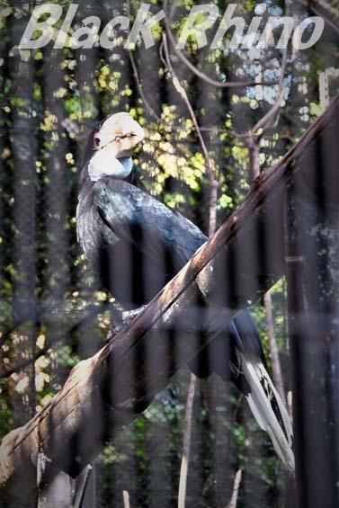 シワコブサイチョウ04 福岡市動物園