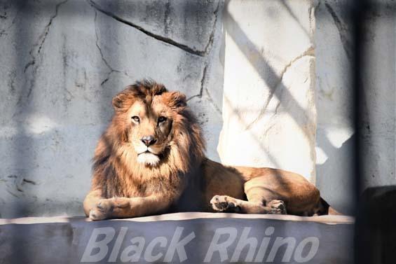 ライオン01 福岡市動物園