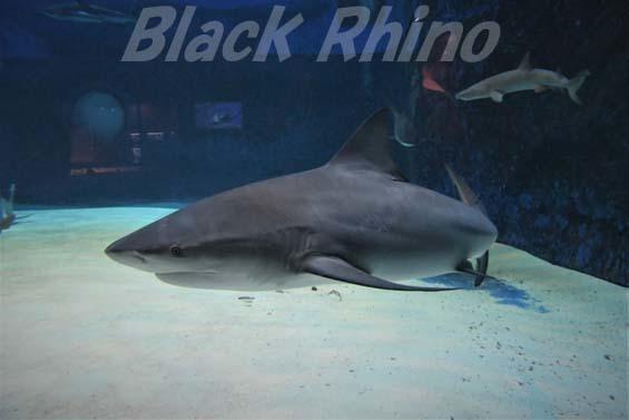 オオメジロザメ01 美ら海水族館