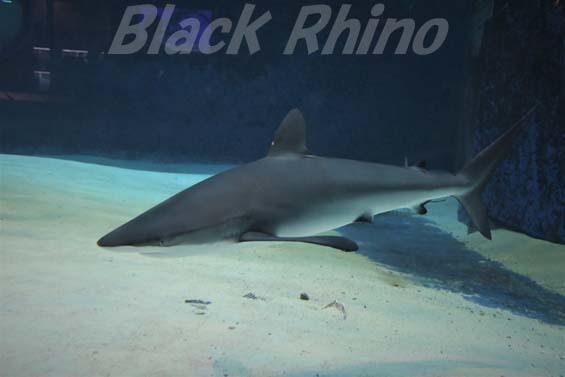 クロトガリザメ01 美ら海水族館