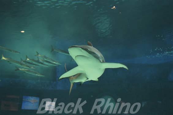 クロトガリザメ02 美ら海水族館