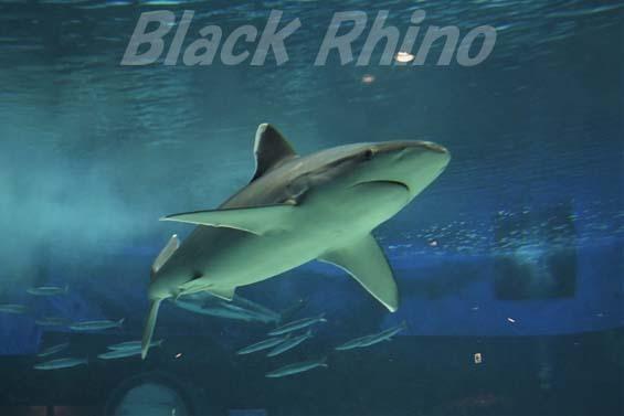 ツマジロ02 美ら海水族館