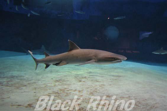 ネムリブカ01 美ら海水族館