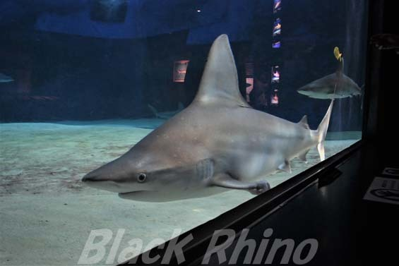 メジロザメ(ヤジブカ)01 美ら海水族館