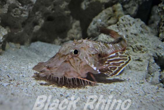 オニキホウボウ01 美ら海水族館
