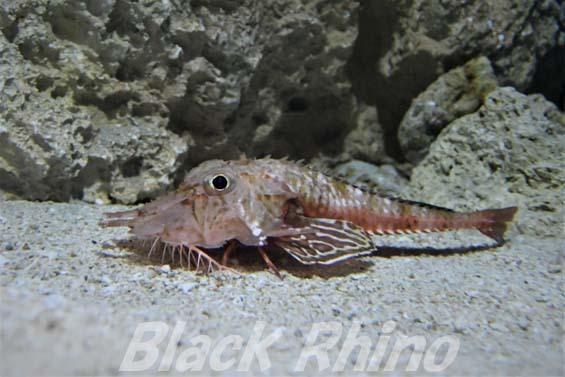 オニキホウボウ02 美ら海水族館
