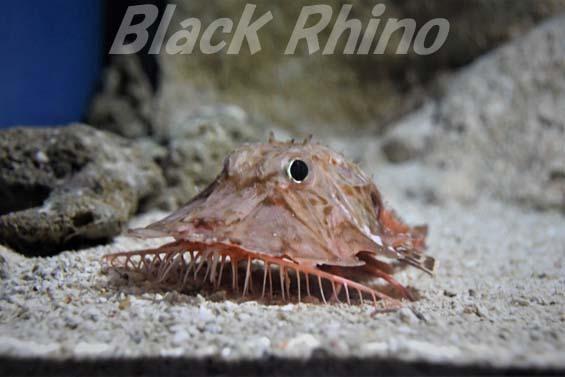 オニキホウボウ03 美ら海水族館