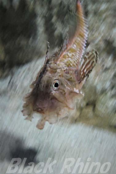 オニキホウボウ04 美ら海水族館