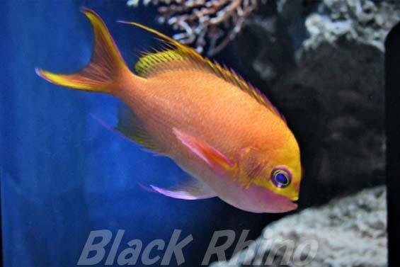 バラハナダイ01 美ら海水族館