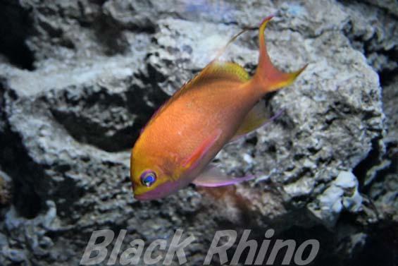 バラハナダイ02 美ら海水族館