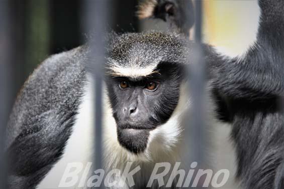 ダイアナモンキー01 福岡市動物園