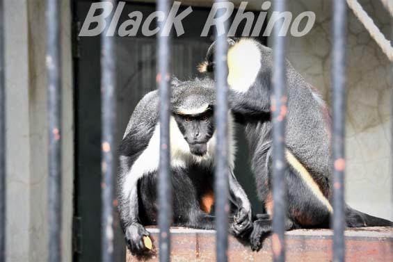 ダイアナモンキー02 福岡市動物園