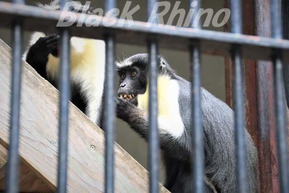 ダイアナモンキー04 福岡市動物園