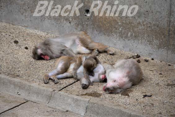ニホンザル03 福岡市動物園