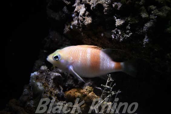 アズマハナダイ01 美ら海水族館