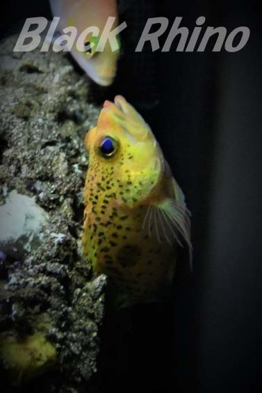 アマミハナダイ02 美ら海水族館