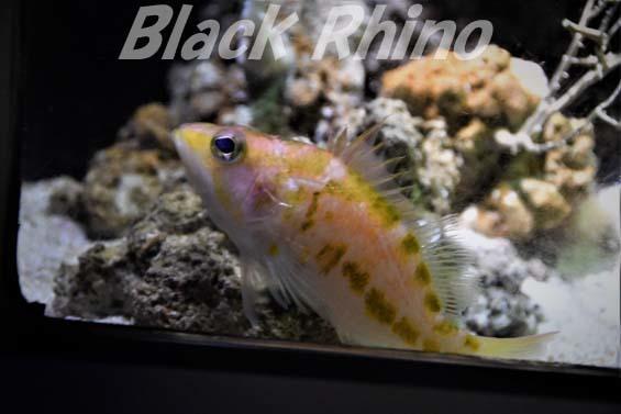 キオビイズハナダイ01 美ら海水族館