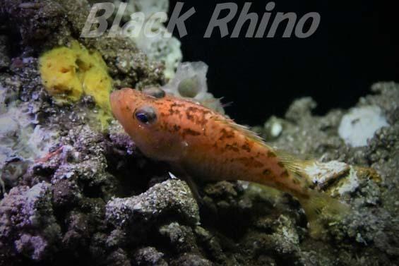 フジナハナダイ02 美ら海水族館