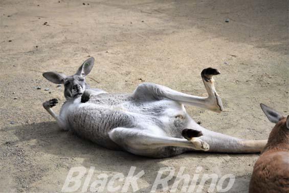 アカカンガルー02 海の中道海浜公園動物の森