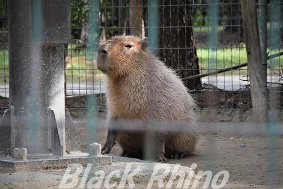カピバラ01 海の中道海浜公園動物の森
