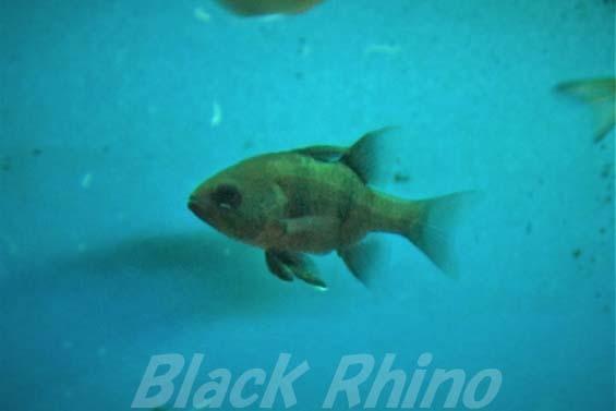 ヨコスジイシモチ01 いおワールドかごしま水族館