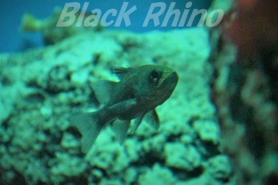 ヨコスジイシモチ02 いおワールドかごしま水族館