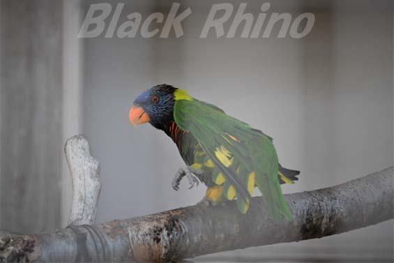 ゴシキセイガイインコ01 福岡市動物園