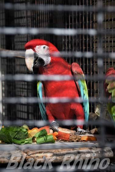 ベニコンゴウインコ01 福岡市動物園
