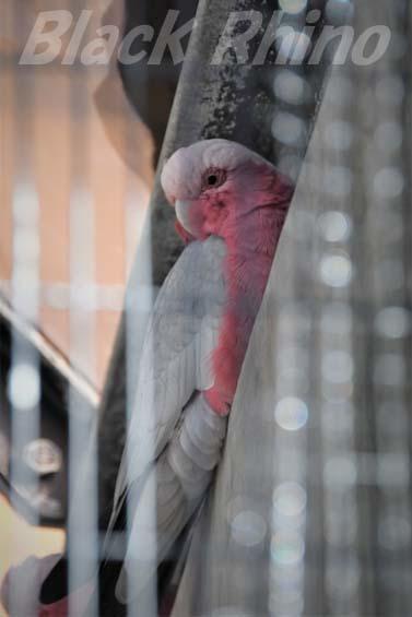 モモイロインコ01 福岡市動物園