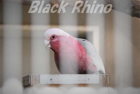 モモイロインコ02 福岡市動物園