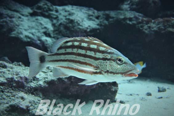 アミメフエダイ01 美ら海水族館