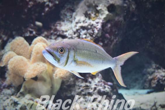 イシフエダイ01 美ら海水族館