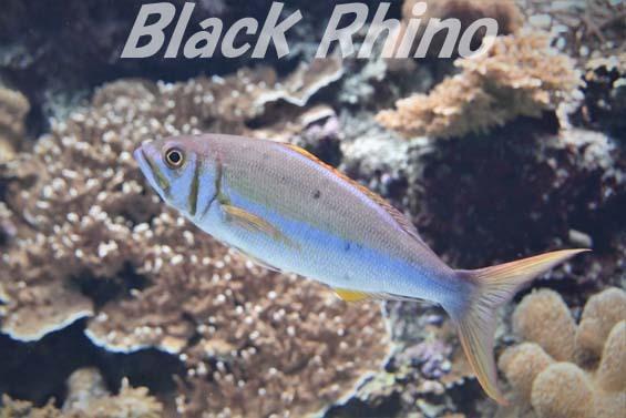 イシフエダイ02 美ら海水族館