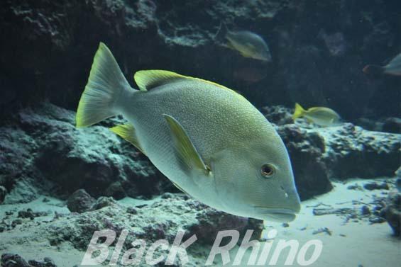 ナミフエダイ01 美ら海水族館