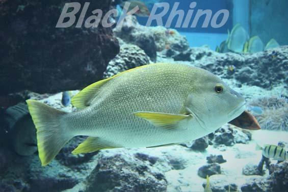 ナミフエダイ02 美ら海水族館