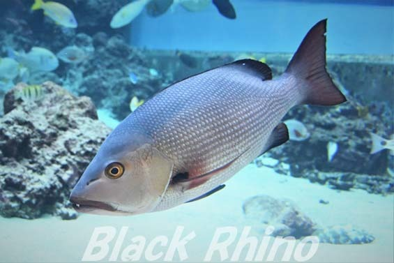 バラフエダイ01 美ら海水族館
