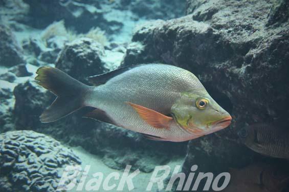 ヒメフエダイ01 美ら海水族館