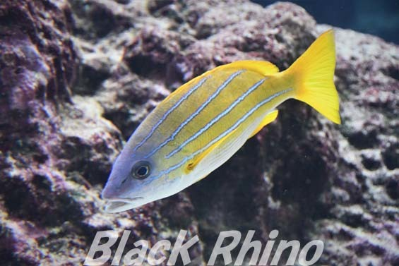 ヨスジフエダイ01 美ら海水族館
