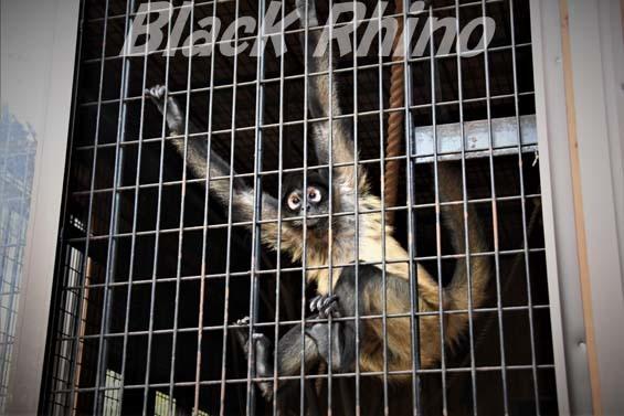 ジェフロイクモザル01 大内山動物園
