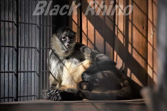ジェフロイクモザル03 大内山動物園