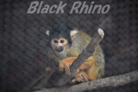 ボリビアリスザル01 大内山動物園