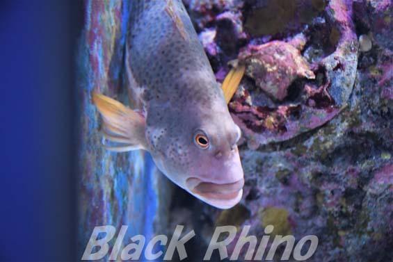 イレズミゴンベ01 美ら海水族館