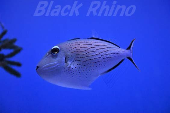 スジナメモンガラ01 美ら海水族館