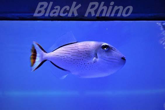 スジナメモンガラ02 美ら海水族館