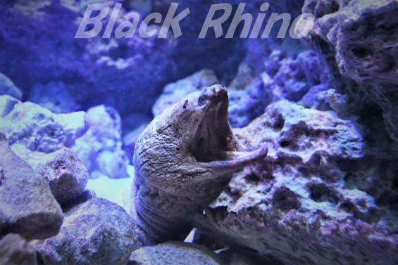 ダイオウキカイウツボ01 美ら海水族館
