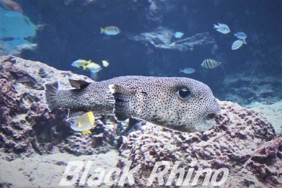 ネズミフグ01 美ら海水族館